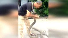 เปิดคลิป! ชายจับงูจงอาง 4 เมตรด้วยมือเปล่า แบบสบายๆ