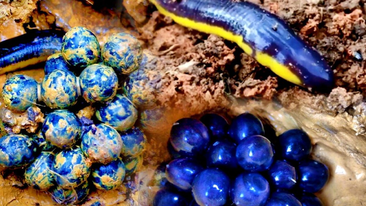ไข่เขียดงู, เขียดงู (Caecilian's eggs)
