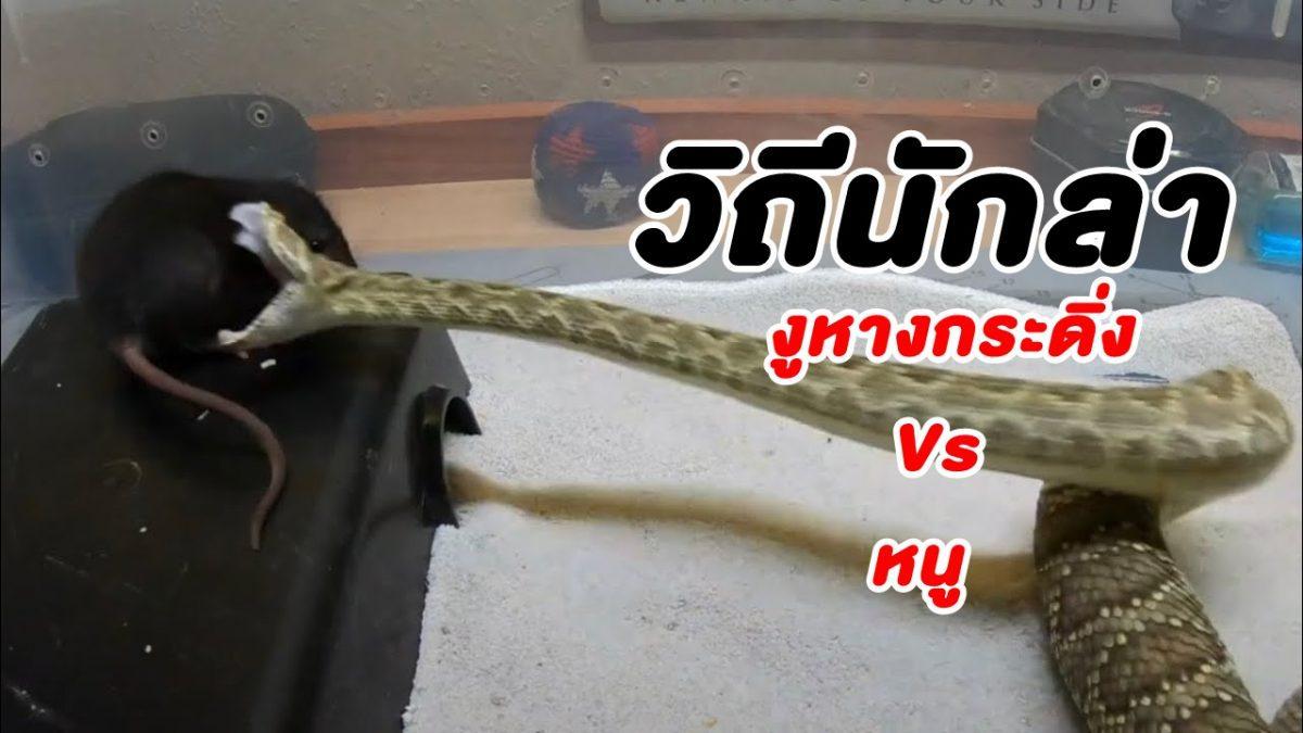วิถีนักล่า! นาที งูหางกระดิ่ง Vs หนู ฉกปล่อยพิษเขมือบหายทั้งตัว