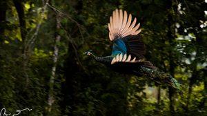 นักวิจัย มจธ. พบนกยูงในป่าอนุรักษ์