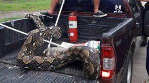 อย่างใหญ่! ภาพงูเหลือมยักษ์ ถูกจับได้ที่สระบุรี