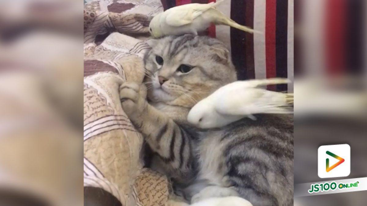 คลิปแมวกับนกก็เป็นเพื่อนกันได้จ้า (09-06-61)