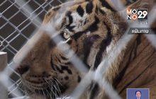 กรมอุทยานฯ ยืนยันเสือโคร่งป่วยตาย 86 ตัว