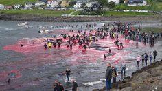 น้ำทะเลในหมู่เกาะแฟโรเปลี่ยนเป็นสีแดงจากเลือดของ วาฬ นับร้อยตัวที่ถูกฆ่าตามประเพณี
