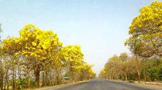 """""""เหลืองปรีดียาธร"""" ที่ จ.สุพรรณบุรี บานแล้วจ้า"""