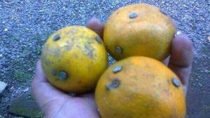 เฉลยแล้ว! แชร์เตือนภัย 'ส้มตะปู' แท้จริงเกิดในอินโดฯ