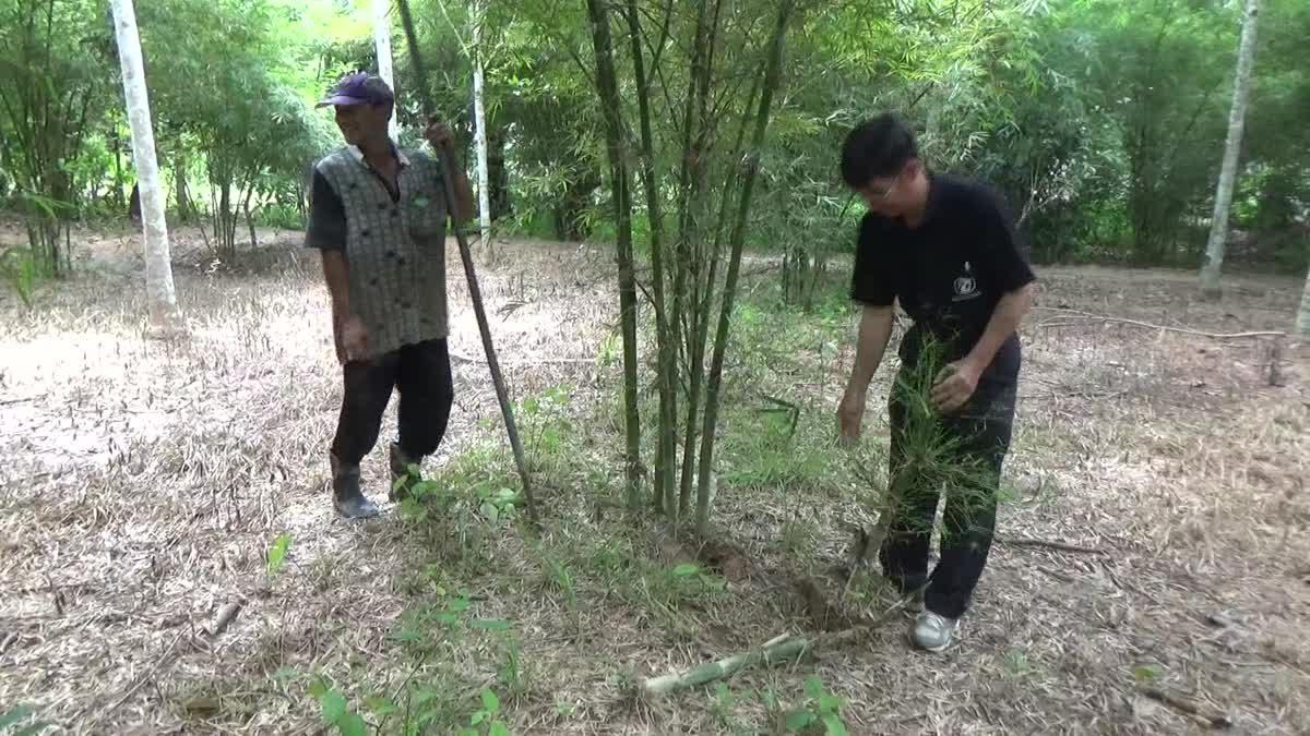 เกษตรกร จ.ตรัง ปลูกไผ่เลี้ยงหวานแซมสวนยาง ทำเงินปีละไม่ต่ำกว่า 500,000 บาท