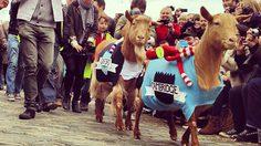 The Goat Race!! การแข่งขันวิ่ง แพะ ระหว่างสองมหาลัยชื่อดัง Oxford และ Cambridge