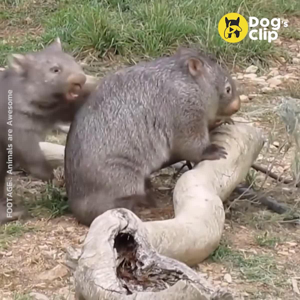 วอทแบท สัตว์เลี้ยงลูกด้วยนมที่น่ารักที่สุดในออสเตรเลีย