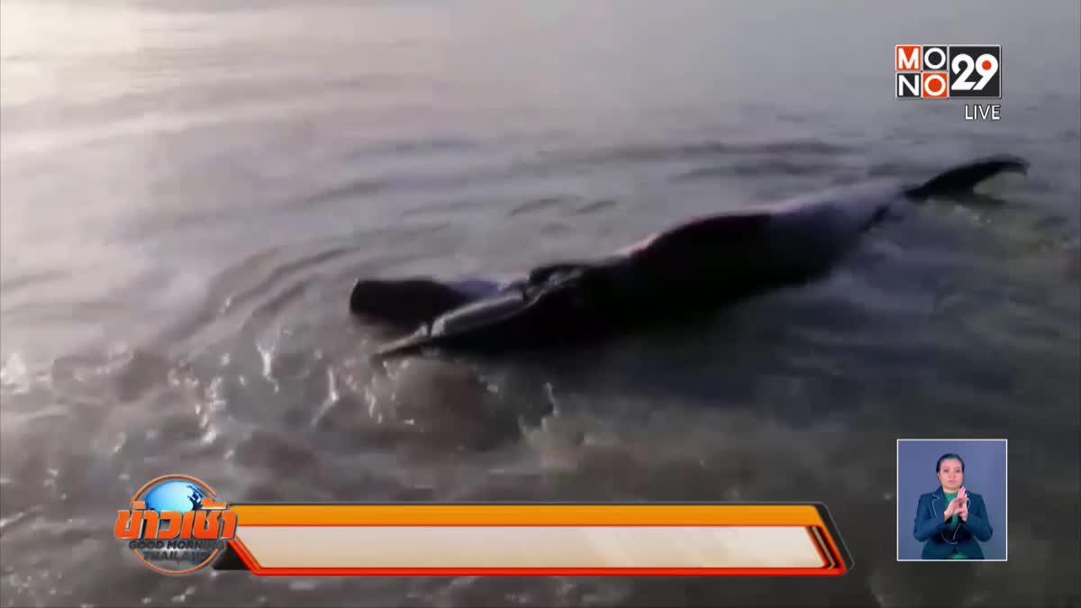 วาฬโอมูระถูกเรือเกาะลันตาชน