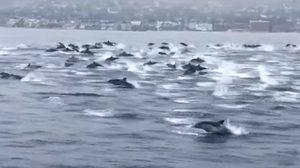 ตื่นตา! ฝูงโลมาร่วมร้อยชีวิต โผล่ว่ายน้ำในทะเล ที่แคลิฟอร์เนีย