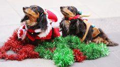 น่ารัก! จับน้องหมาแต่งตัวแฟชั่น ในเทศกาลคริสต์มาส