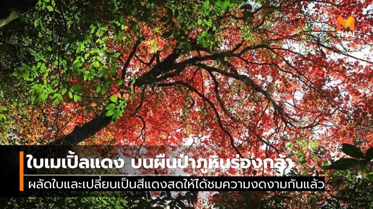 ใบเมเปิ้ลแดง ณ อุทยานแห่งชาติภูหินร่องกล้า เผยโฉมความงดงามให้ชมกันแล้ว
