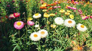 ทุ่งดอกกระดาษ สีสันสดใสรับลมหนาว บนภูหินร่องกล้า จ.พิษณุโลก