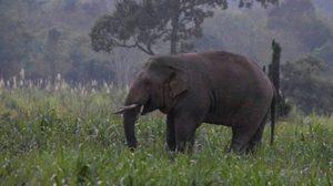 ช้างป่าเขาใหญ่ตกมันทำร้ายชาวบ้านดับ 1 ศพ