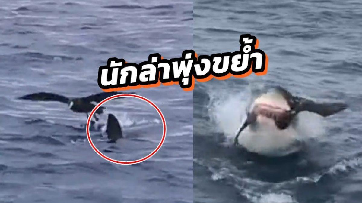 นาทีฉลามขาวนักล่า พุ่งขย้ำนกทั้งตัวต่อหน้านักท่องเที่ยว