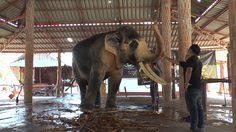 เผยโฉม พลายเอกชัย คชลักษณ์เข้าข่ายช้างมงคล