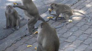 วอนอย่านำ 'ลิง' มาปล่อยที่เขาน้อย – เขาตังกวน หลังทำร้ายเด็ก
