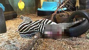 สยอง สวนสัตว์ตัดคอม้าลายทั้งเป็น โยนให้เสือเขมือบ ต่อหน้านักท่องเที่ยว
