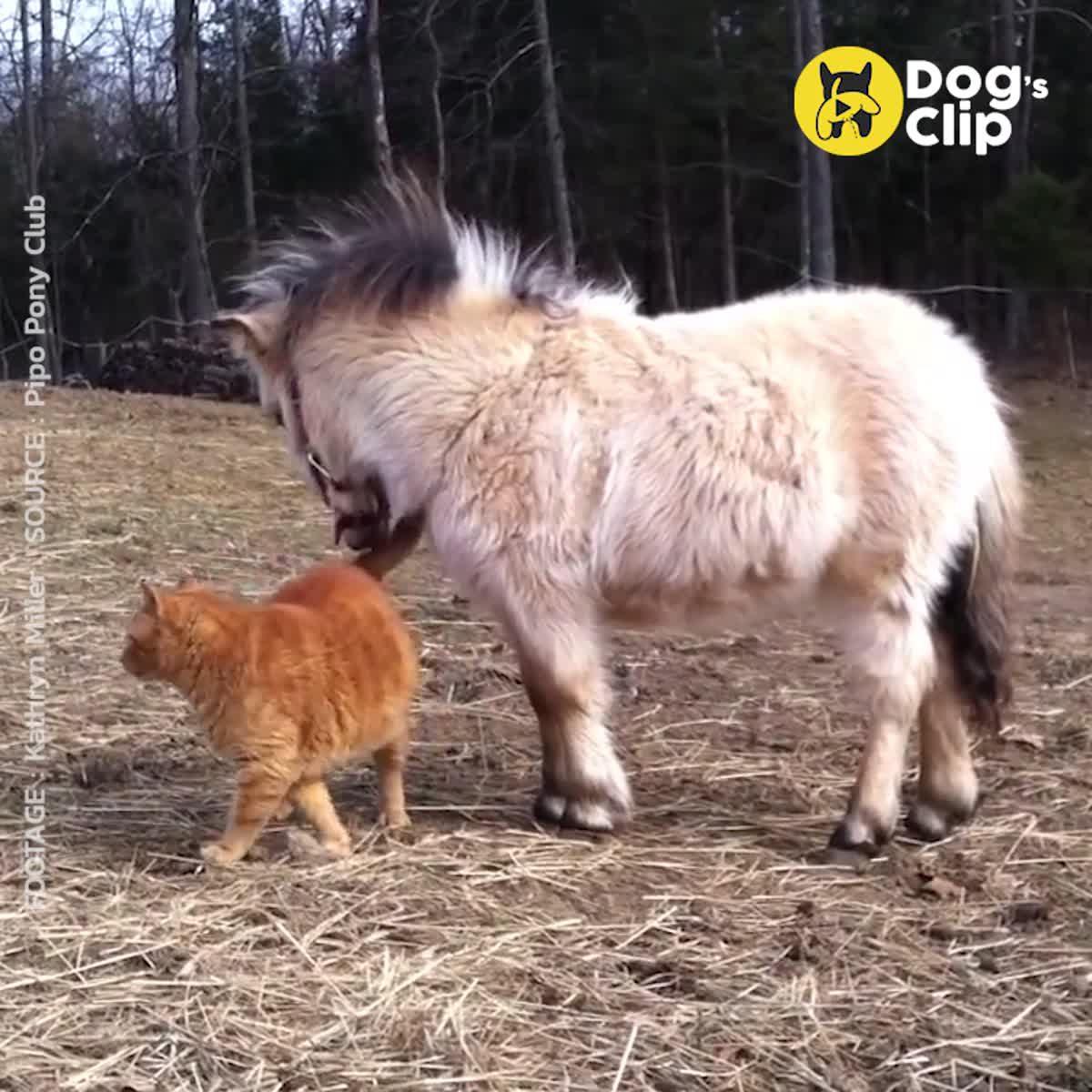 มาทำความรู้จักกับม้าแครที่สูงกว่าแมวนิดเดียวกันเถอะ