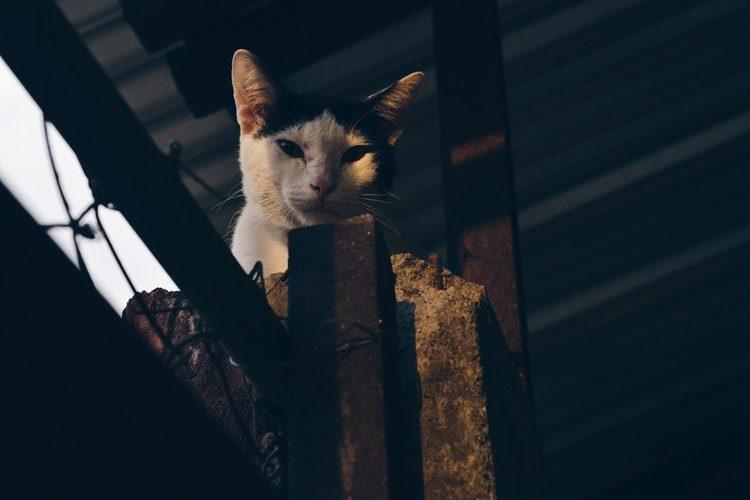 แมวมอง