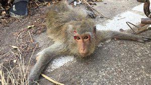 ลิงแสม ถูกรถชนบาดเจ็บ หลังกินผลไม้ที่คนโยนให้ วอนหยุดให้อาหาร