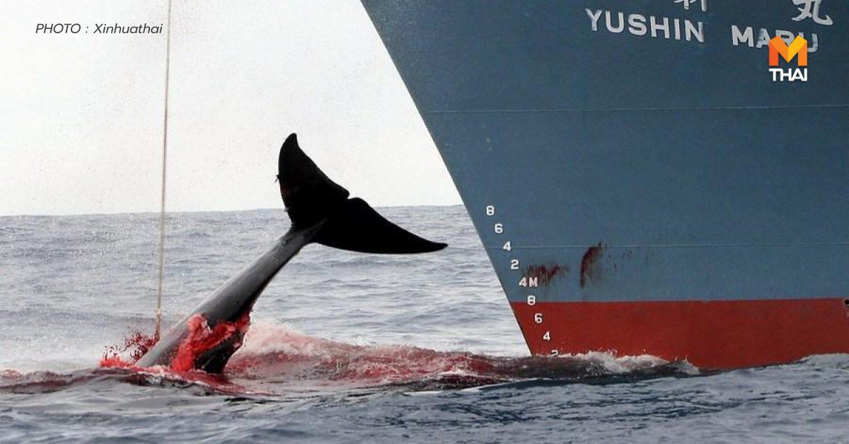 ญี่ปุ่นเคาะโควตา 'ล่าวาฬเชิงพาณิชย์' ปี 2021