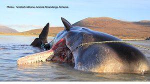 วาฬหัวทุย เกยตื้นในสกอตแลนด์ ผ่าท้องดูพบขยะพลาสติก 100 กิโล