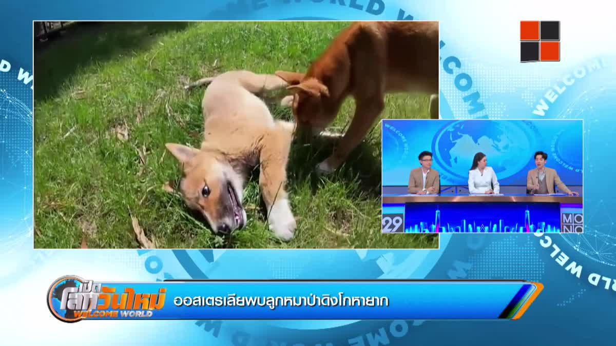 ออสเตรเลียพบลูกหมาป่าดิงโกหายาก