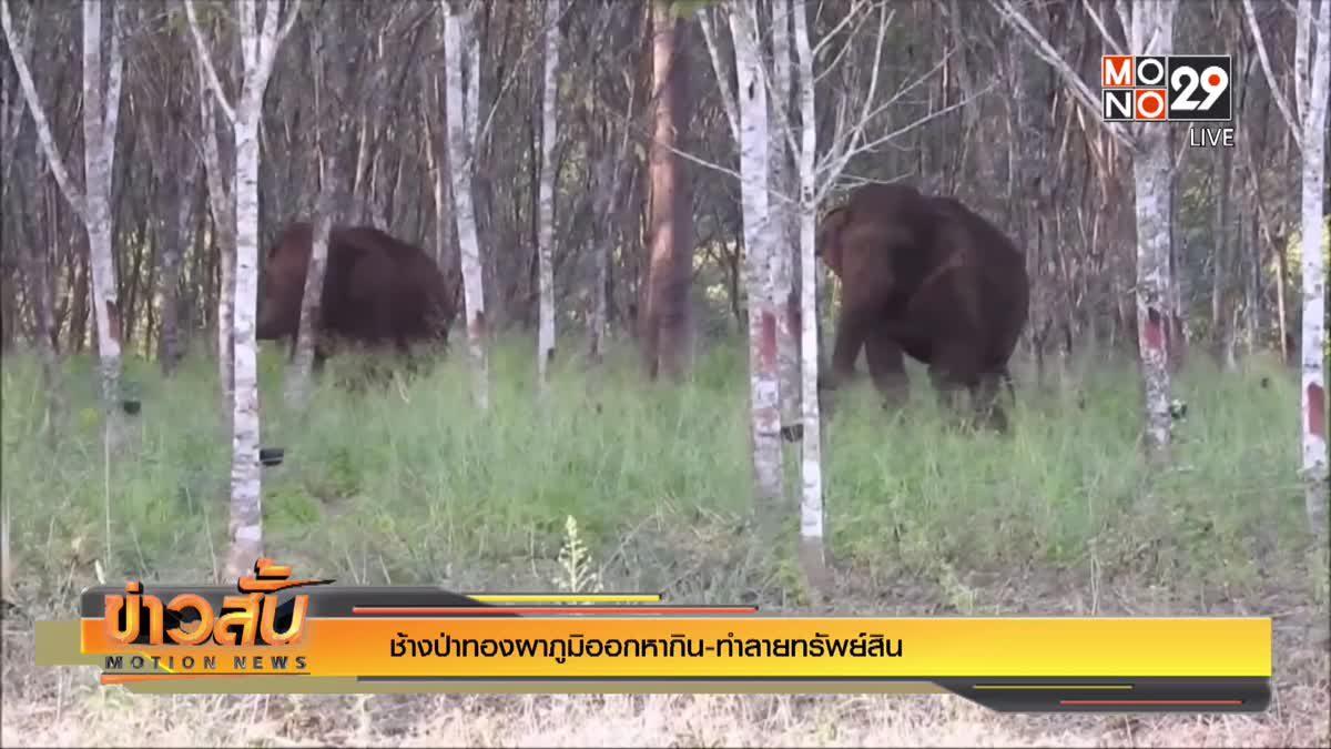 ช้างป่าทองผาภูมิออกหากิน-ทำลายทรัพย์สิน