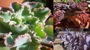 สารพัน พืชอวบน้ำ หน้าตาน่ารัก ไปจนถึง น่าเกลียด ที่เห็นแล้วต้องร้องว้าว