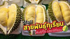 ปราบเซียน!! วิธีดูสายพันธุ์ทุเรียน พันธุ์ที่ใช่ รสชาติที่ชอบ
