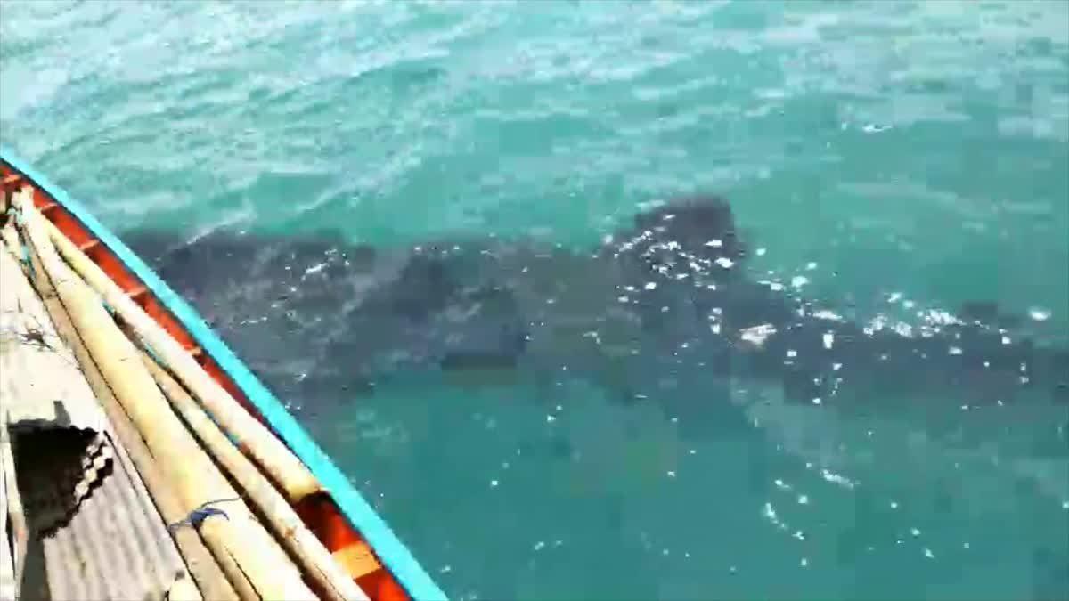 พบฉลามวาฒหากินในอุทยานแห่งชาติหมู่เกาะอ่างทอง