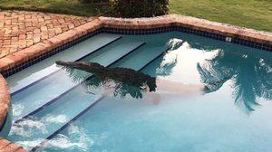 """ภาพระทึก! """"จระเข้"""" ตัวเขื่อง ดอดเล่นสระว่ายน้ำชาวบ้าน"""