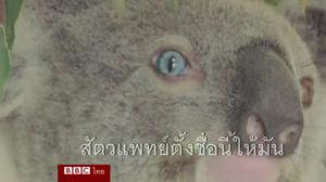พบโคอาลา ตาสองสีในออสเตรเลีย