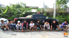 ระทึก! จับงูเหลือมยาว 7 เมตร อาสาพลาดท่าถูกกัดเลือดสาด