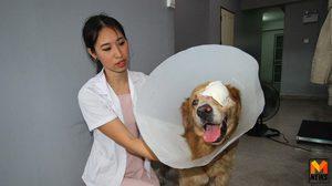 สุดทึ่ง! สุนัขพันธุ์โกลเดินฯถูกรุมกัด เคาะประตูคลินิกสัตว์ให้หมอรักษา