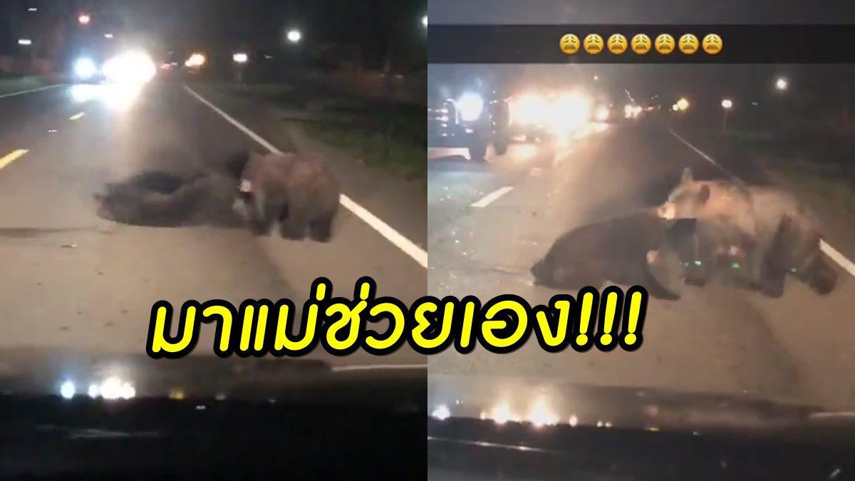 หัวอกคนเป็นแม่! นาที แม่หมีพยายามใช้ปากคาบดึงลูกหมี ที่ถูกรถชน ออกจากถนน