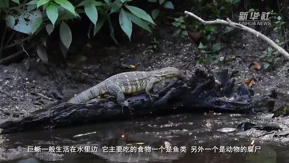 จีนเผยคลิป 'ตัวเงินตัวทอง' สัตว์คุ้มครองหายากใน ยูนนาน