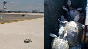เครื่องบินต้องดีเลย์ไปหลายชั่วโมง เพื่อหลีกทางให้ เต่า กว่า 40 ตัวหาที่วางไข่