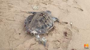 พบซาก 'เต่าทะเล' และ 'โลมา' ตายเกยหาดเกาะสมุย