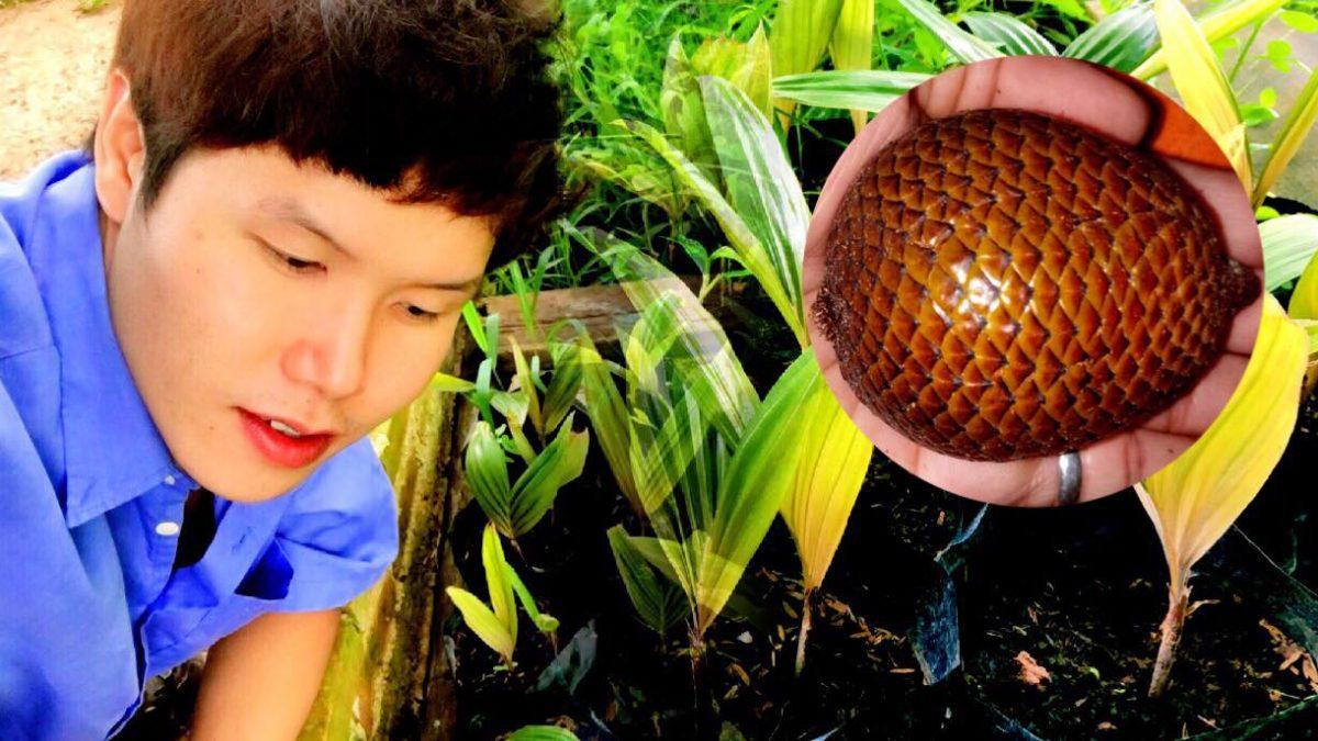 วิธีปลูกสละอินโด จากเมล็ด ตอนที่ 1 - How to grow Salak madu tree (Snake fruit tree) 1 -  滇西蛇皮果如何种植 1