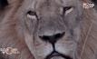 สิงโตเซซิลกับการอนุรักษ์เสือในซิมบับเว