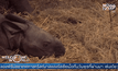 Rare one-horned rhinoceros born at Belgian zoo