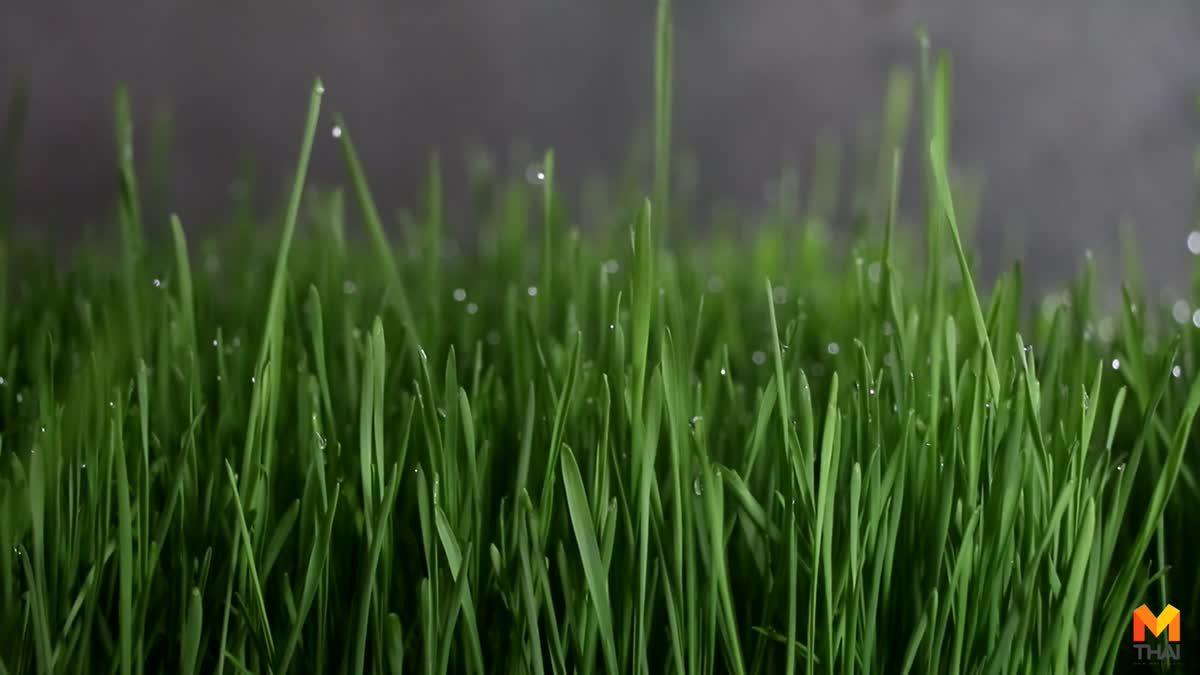 'ต้นอ่อนข้าวสาลี' พืชผักสมุนไพร แค่ 7 วัน ก็สามารถตัดขายสร้างรายได้งาม