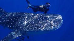 อธิบดีทช. แนะวิธีชม 'ฉลามวาฬ' อย่างปลอดภัย