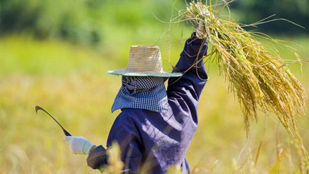 ครม. อนุมัติเพิ่มวงเงิน ประกันรายได้เกษตรกรผู้ปลูกข้าว ปี 63/64