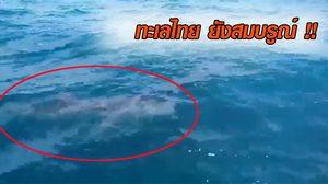ธรรมชาติในไทยยังอุดม หลังฉลามวาฬ  โผล่อวดโฉมกลางทะเลเกาะสีชัง