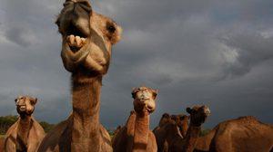 ออสเตรเลียเริ่มสังหารอูฐกว่าหมื่นตัวโทษฐาน 'แย่งน้ำมนุษย์'
