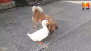 สุดน่ารัก!! ฝาชี-น้ำตาล เป็ดและสุนัขเพื่อนรักต่างสายพันธุ์
